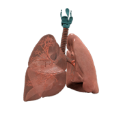 3D Lungs